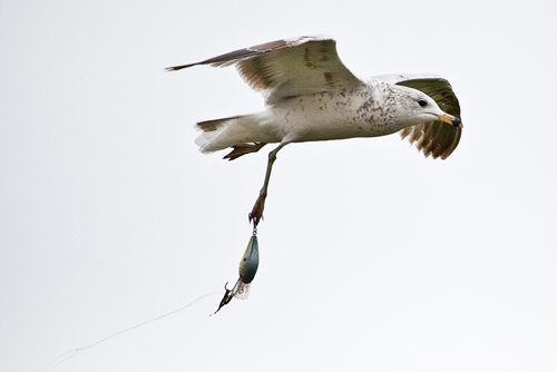 A seagull whose webbed foot is empaled with hooks and lure....